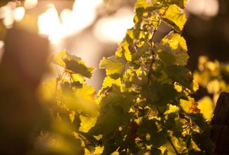 vigne ombre lumière.jpg